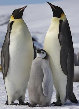 family :: penguin information
